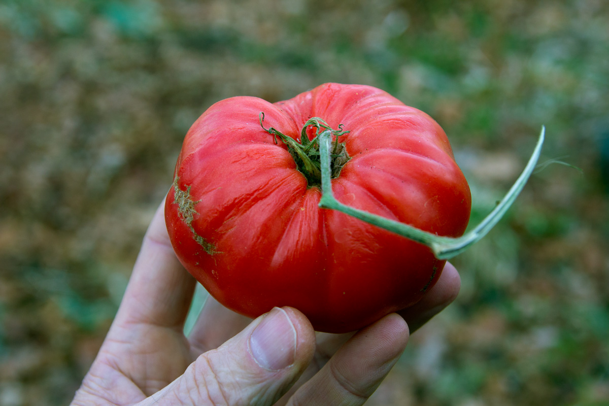 Red Tomato It Was As Green And Hard A Granny Smith Le When I Picked In Mid October